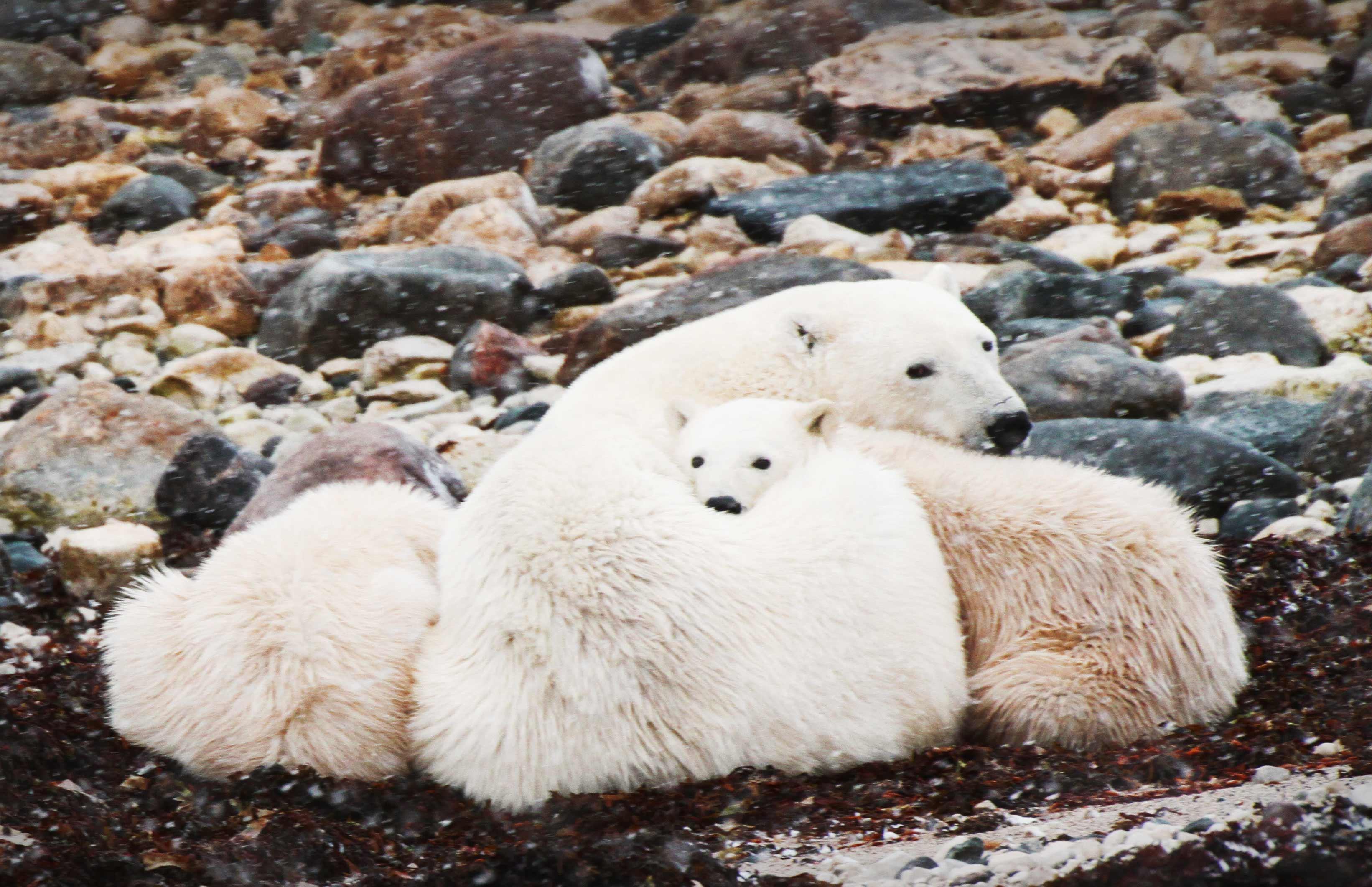 Polar Bear Female with cubs