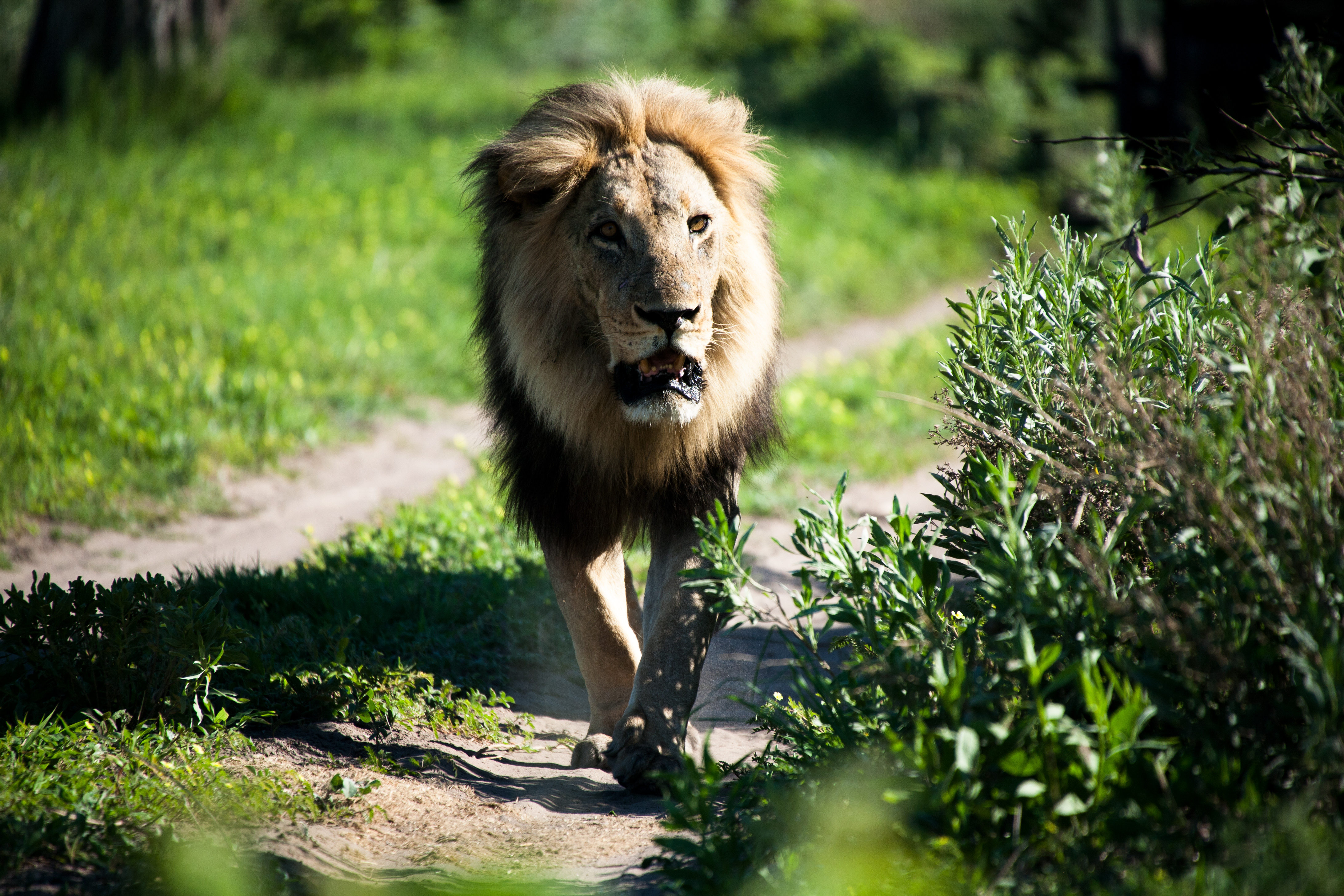CM-Travels_-Botswana-_-Male-Lion
