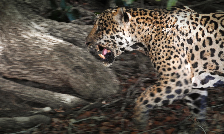 CM-Travels_-Jaguar-Motion-Blur