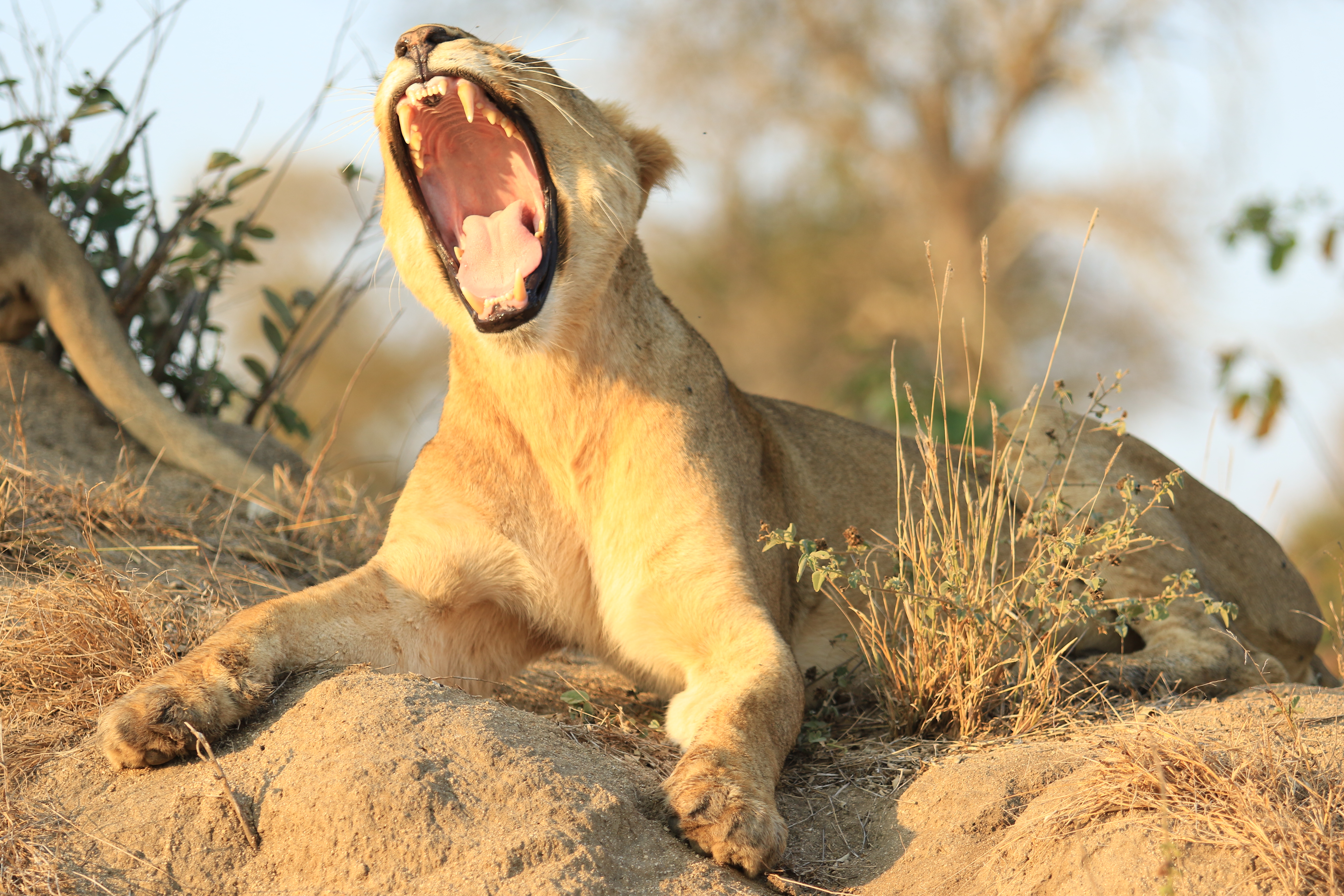 CM-Travels_-Lionness