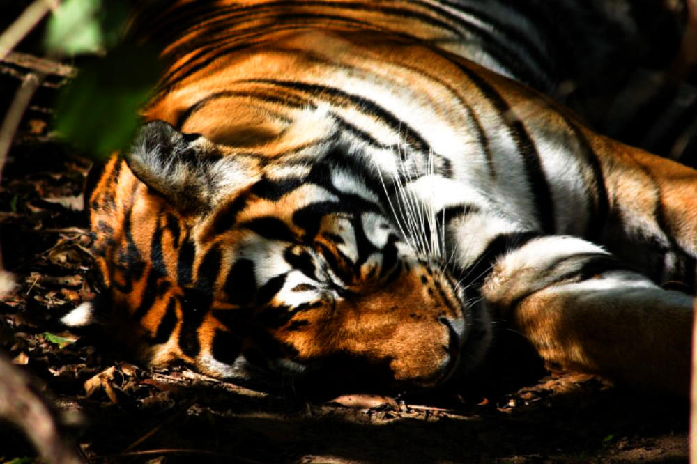 Best Tiger Safari | CM Travels | Tiger | India | Wildlife Photography | Nature | Nature photography | Wildlife