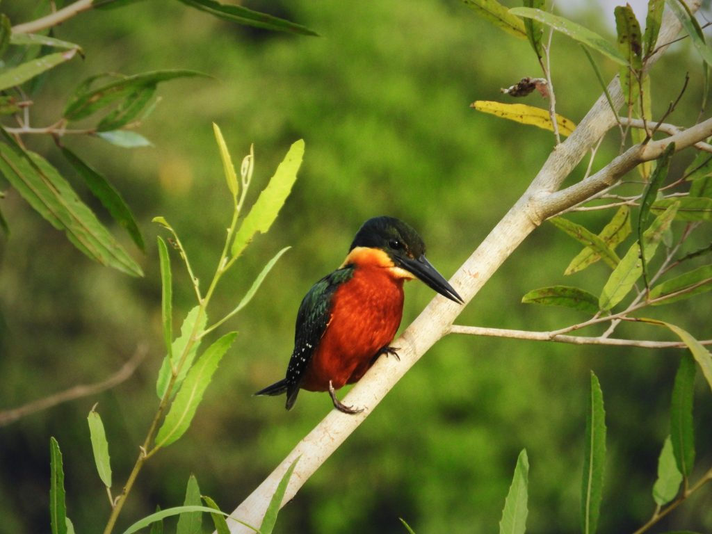 Pantanalsafari - Vogel