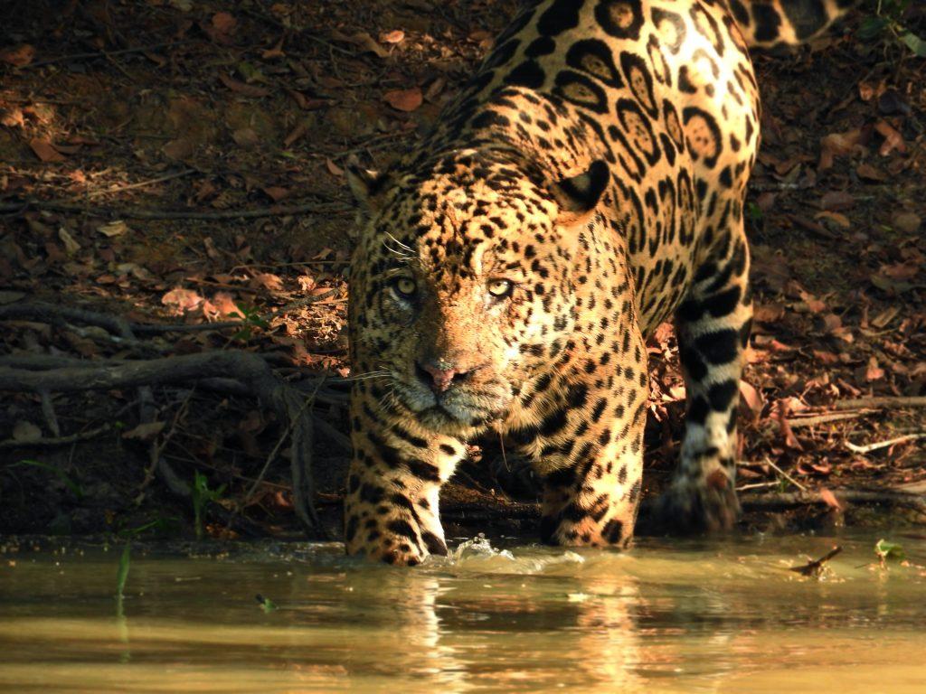 CM Travels: Photographic Safari | Brazil | Jaguars