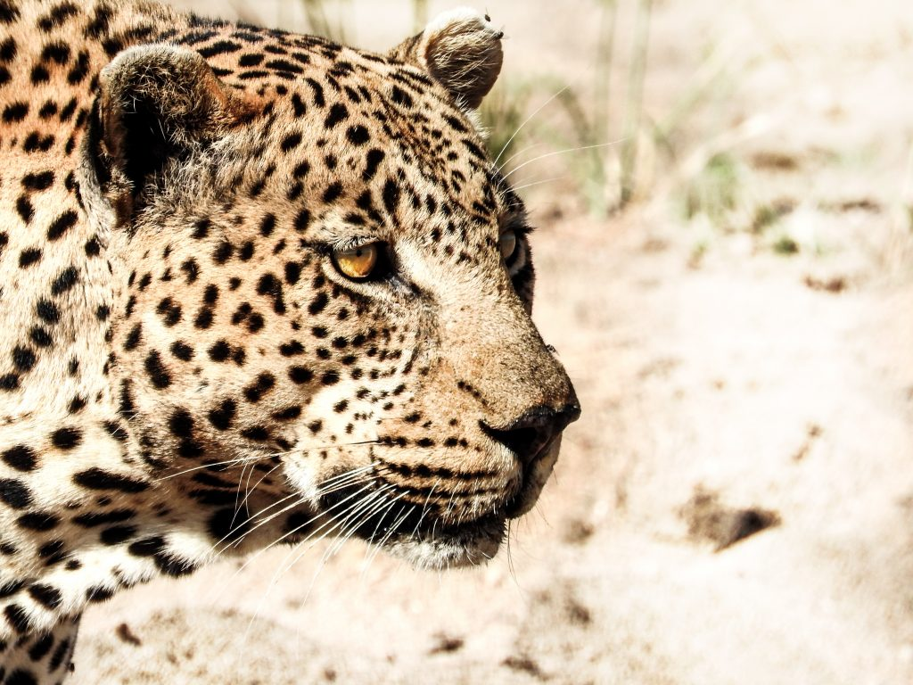 CM Travels: Big Cats | Safari | Leopard | Africa | Photo Safari
