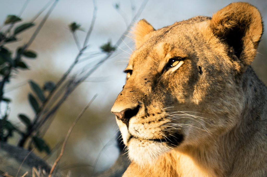 CM Travels: Safari | Lion | Africa | Photo Safari