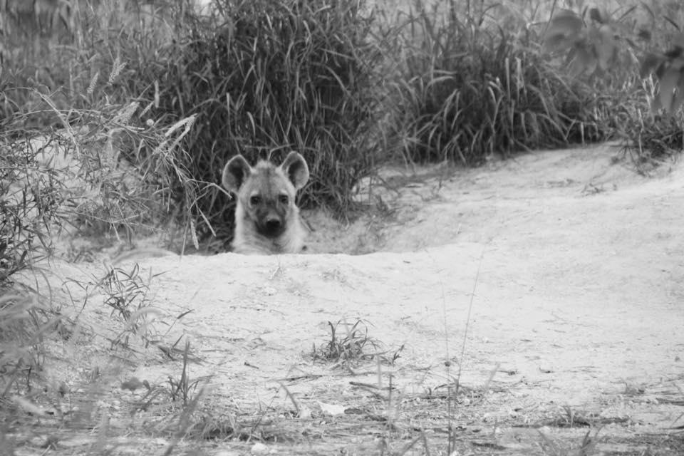 CM Travels: Botswana | Okavango Delta | Savuti | Safari | Hyena | Africa | Photo Safari