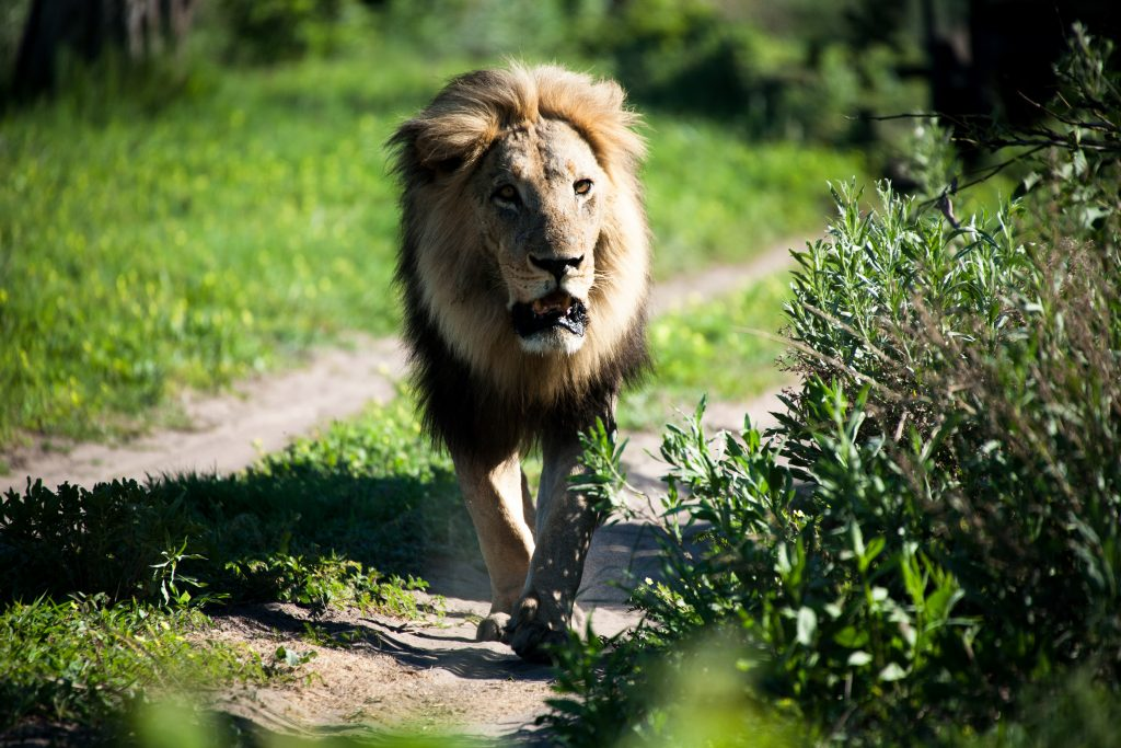 CM Travels: Botswana | Okavango Delta | Savuti | Safari | Lion | Africa | Photo Safari