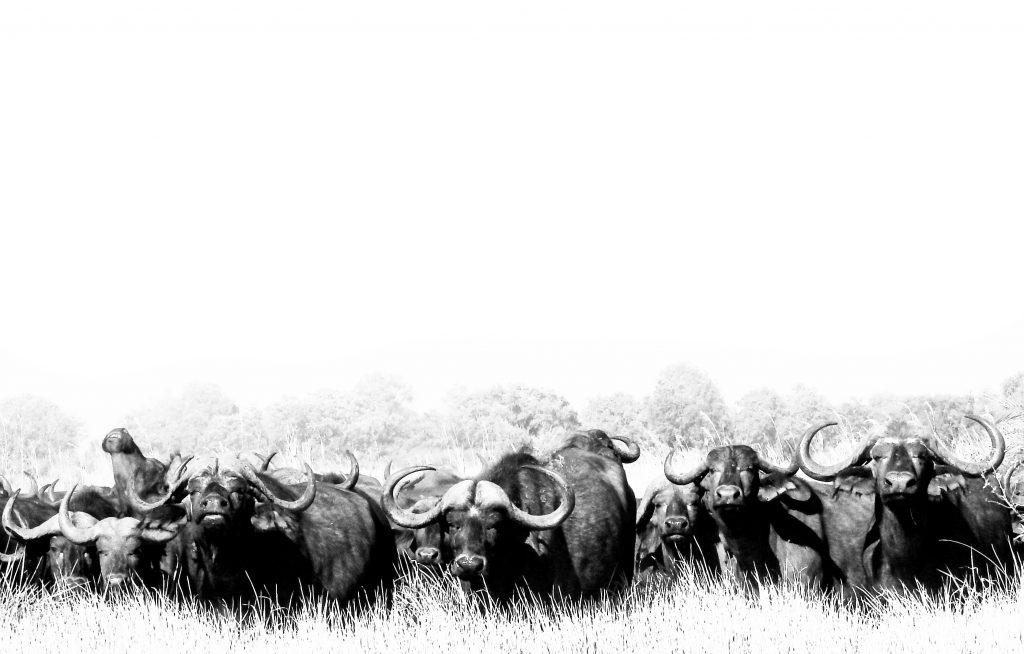 CM Travels: Botswana | Okavango Delta | Savuti | Safari | Buffalo | Africa | Photo Safari