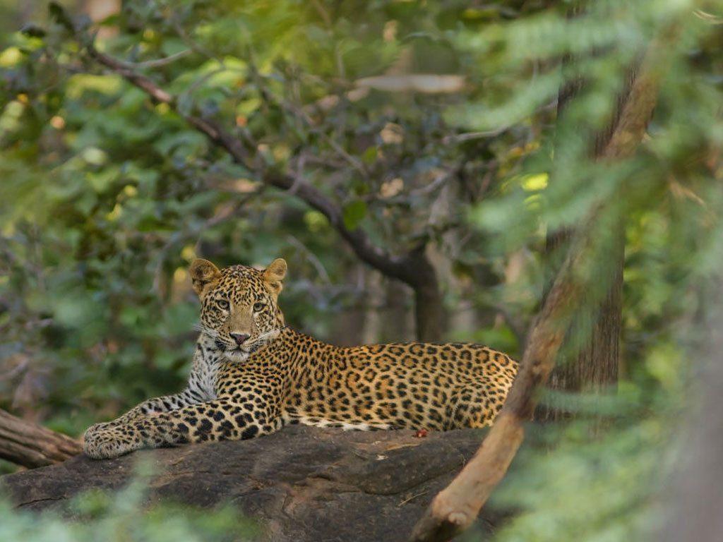 Best Tiger Safari | CM Travels | India | Leopard | Wildlife | Wildlife Photography