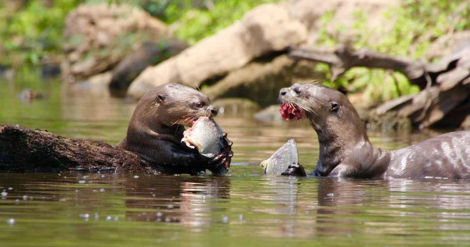 CM Travels | Giant River Otters | Brazil | Safari | Jaguars