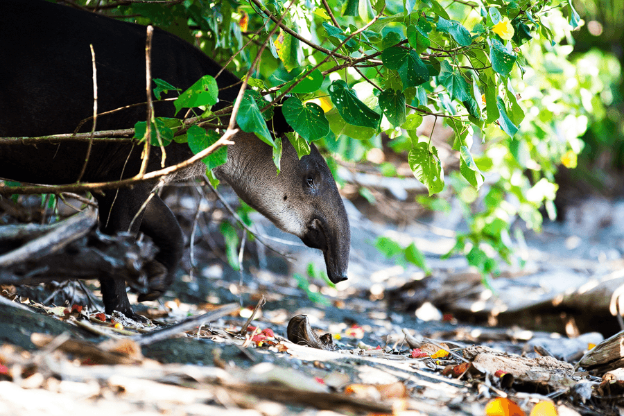 CM Travels | Tapir
