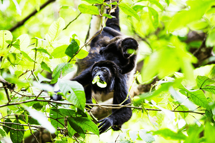 CM Travels | Howler Monkey with Baby