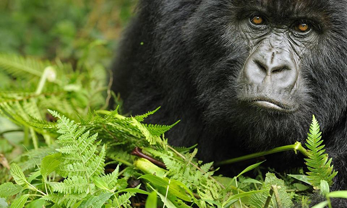 CM Travels | Gorilla