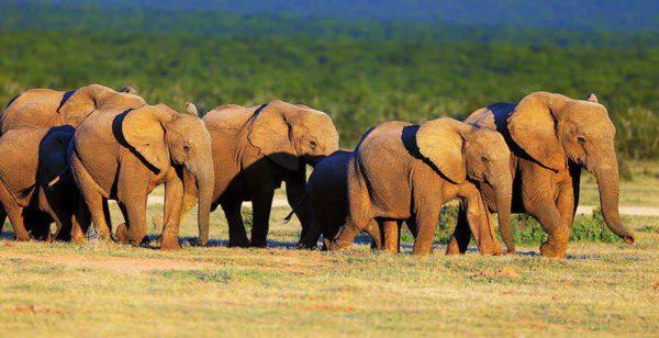 Addo Elephant National Park - Elephant Herd
