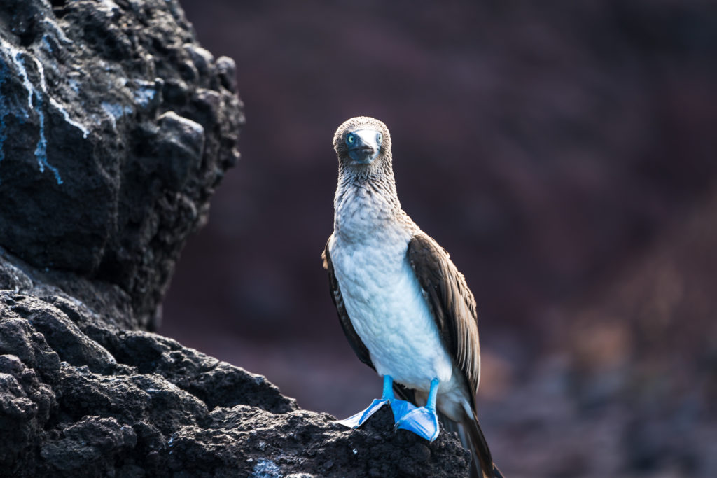 CM Travels | Galapagos | Blue Footed Boobies
