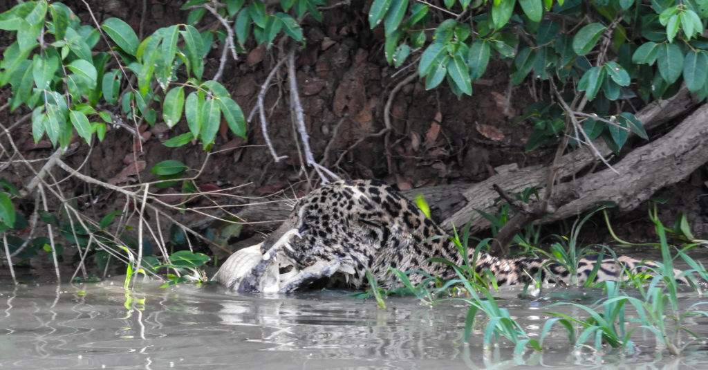 CM Travels | Brazil | Jaguar with Caiman kill