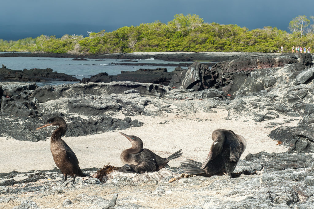 CM Travels | Flightless Cormorant - Galapagos
