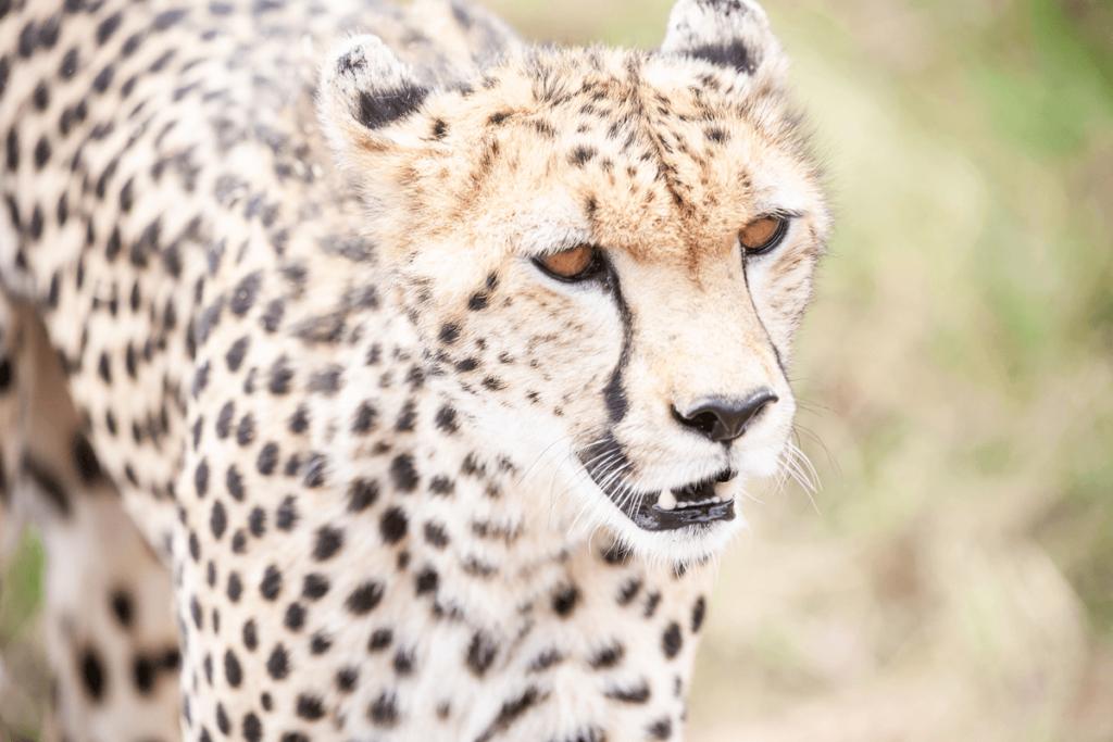 CM Travels | Cheetah | Masai Mara
