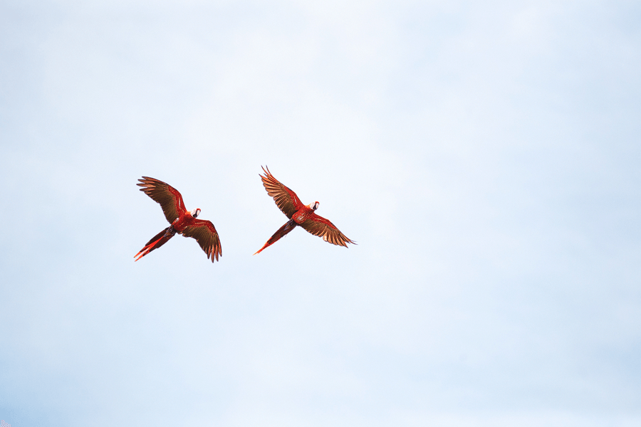 CM Travels | Ecuador | Scarlet Macaws Flying