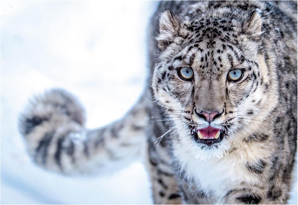 CM Travels | Snow leopard 2 | Panthera Image