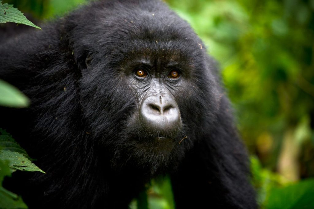 CM Travels | Uganda safari | Gorilla Image