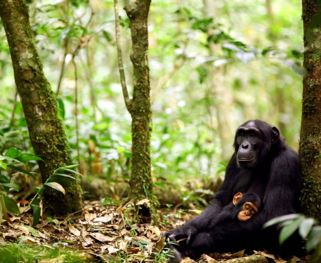 CM Travels | Chimp Mother and Baby