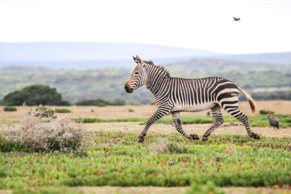 Rare Moutain Zebra