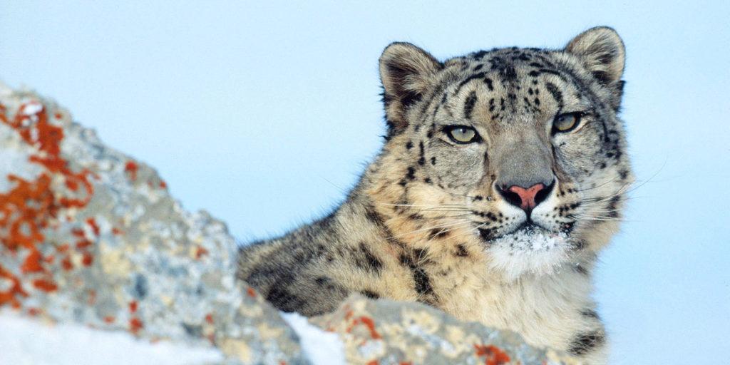 CM Travels | Snow Leopard 3 | Panthera