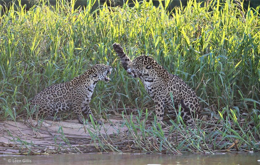 Pantanalsafari - Jaguare