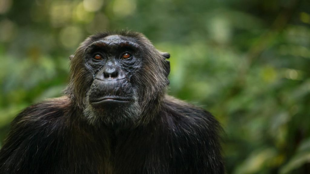 CM Travels | Uganda | Kibale Chimp Trekking