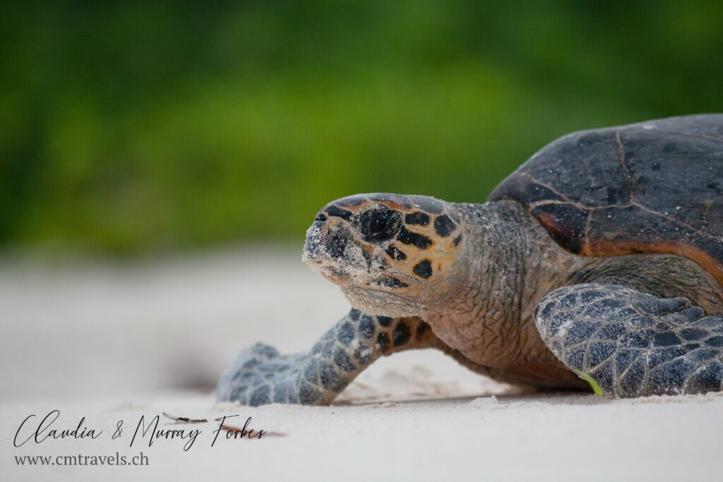 CM Travels | Bird Island | Hawksbill Turtle