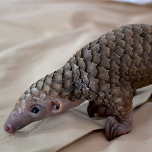CM-Travels-white-bellied-pangolin2