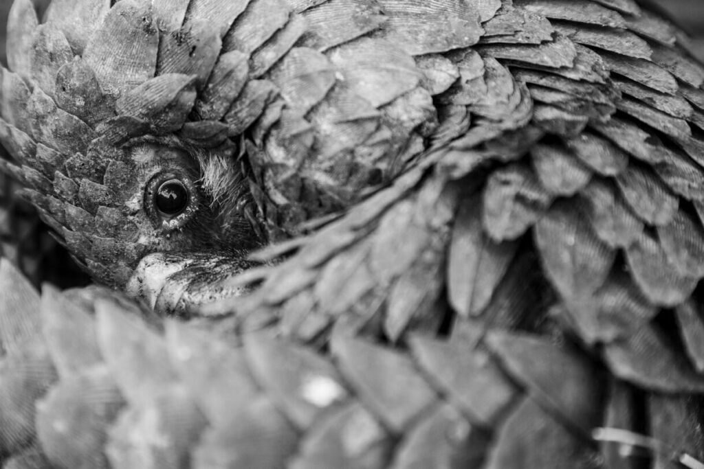 CM-Travels-white-bellied-pangolin