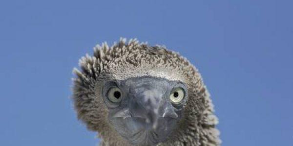 CM Travels   Blue footed booby   sula nebouxii   immature head portrait elizabeth bay isabela galapagos islands ecuador