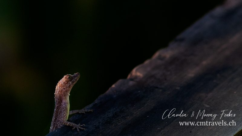 Costa-Rica-CM-Travels-lizard-with-water-droplets