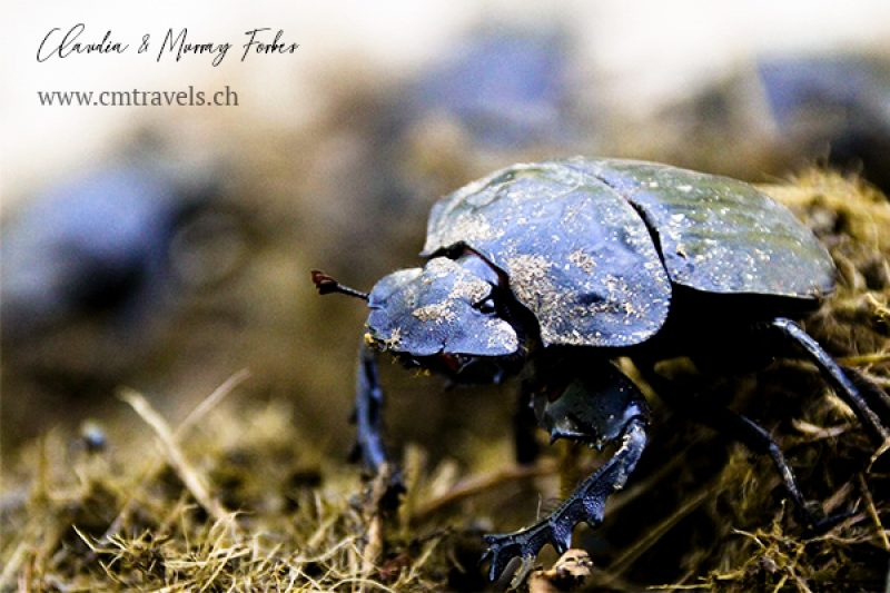 South-Africa-CM-Travels-Safari-Dung-Beetle