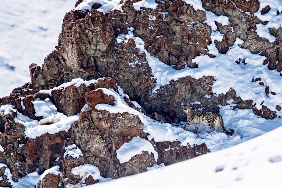 CM Travel | Snow Leopard