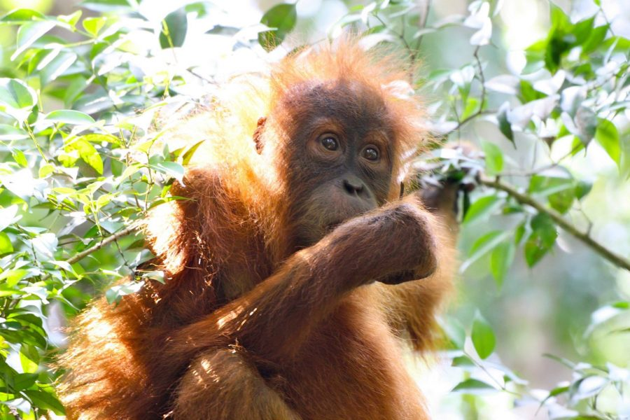CM Travels | Orangutan | Youngster