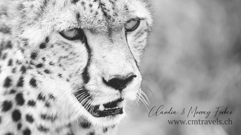Masai-Mara-CM-Travels-Cheetah-Close-up
