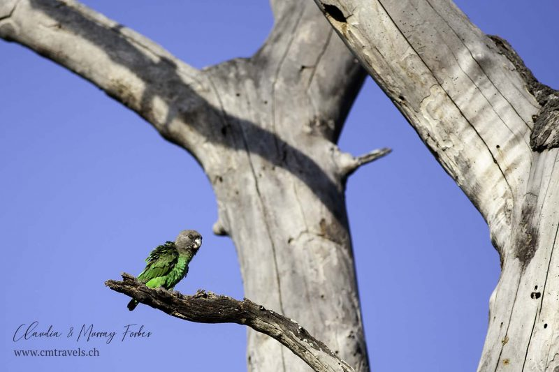 South-Africa-CM-Travels-Safari-Sabi-Sands-Brown-headed-parrot