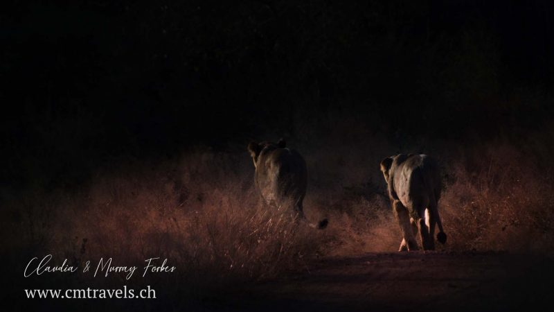 South-Africa-CM-Travels-Safari-Lionnesses-red-light