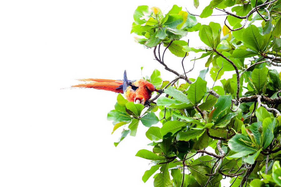 CM Travels | Scarlet Macaw | Costa Rica