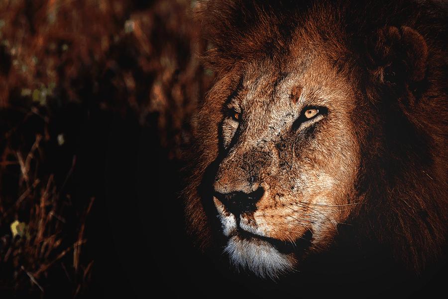 CM Travels | Male Lion | Close up Portrait