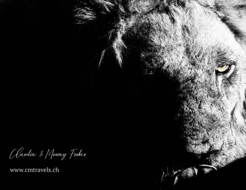 South-Africa-CM-Travels-Safari-Male-lion-BnW