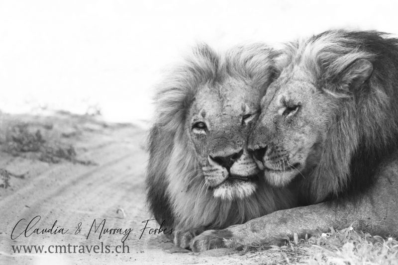 Botswana-CM-Travels-Safari-Sabi-Sands-Male-lions-moment