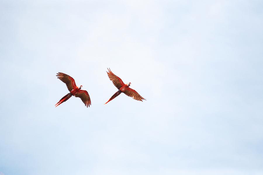 Scarletmacawsflying - Copy