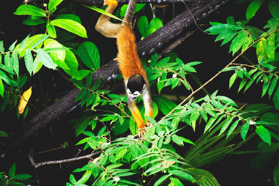 CM Travels | Squirrel monkey