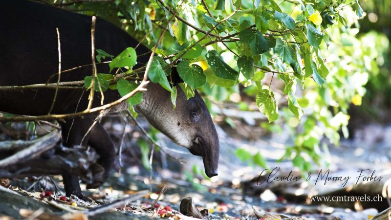 Costa-Rica-CM-Travels-Tapir-on-beach