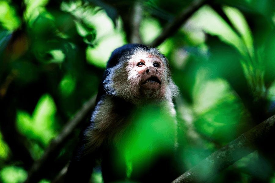 CM Travels | White faced capucian | Costa Rica