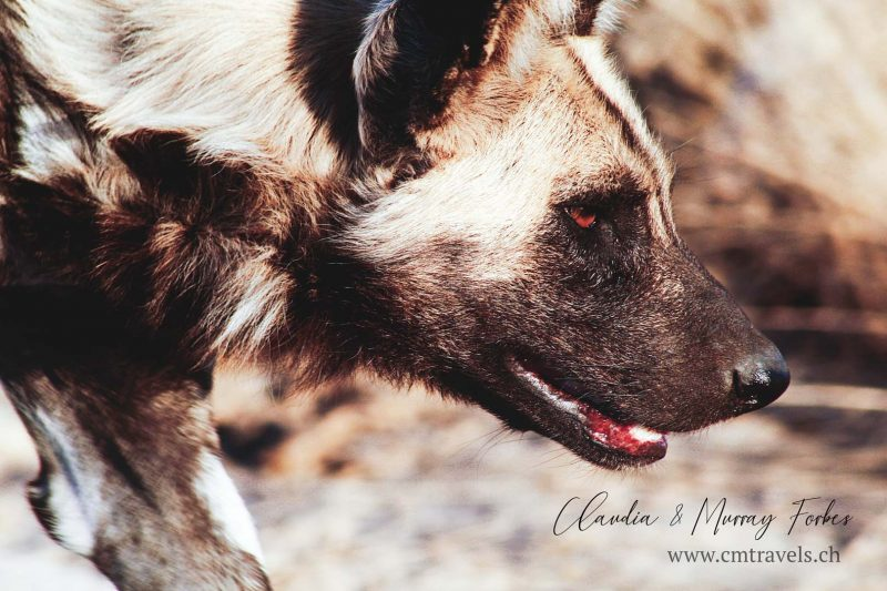 South-Africa-CM-Travels-Safari-Wild-dog-close-up-Eye